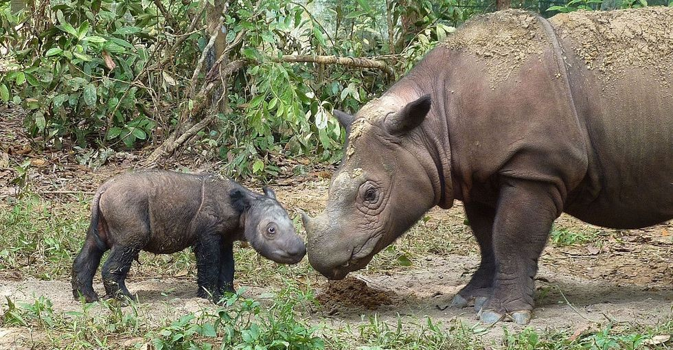 What you need to know about the death of the rare Sumatran rhinoceros.