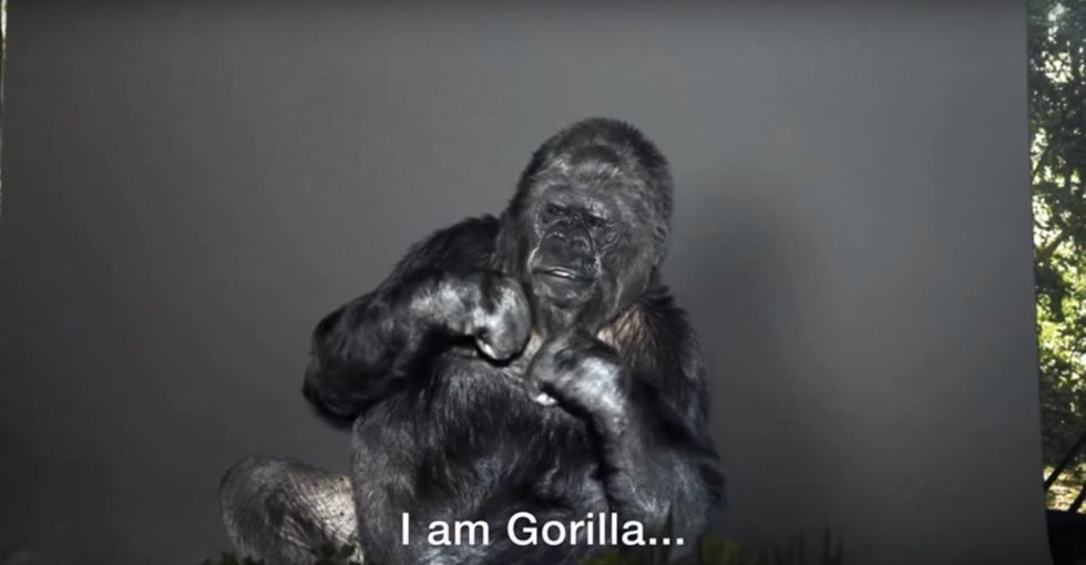 Watch this gorilla use sign language to warn humans about their impact on the earth.