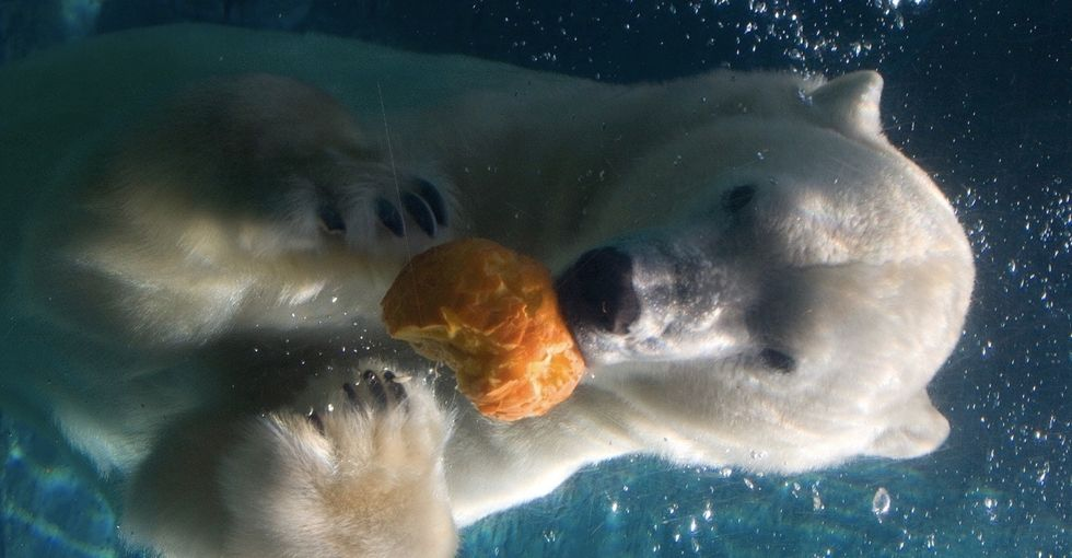 Polar bears are stealing booze and candy from humans, and it's really not as funny as it sounds.