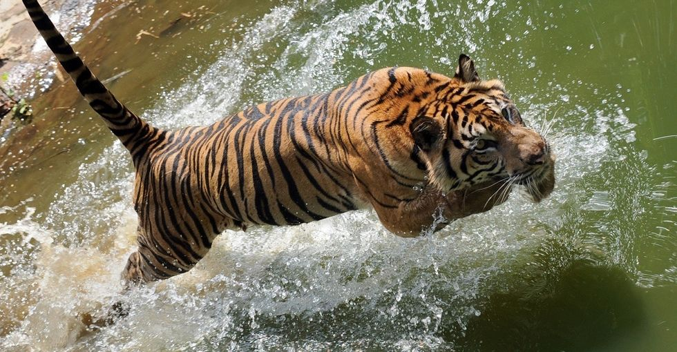 7 ways thinking like a tiger can help you start your week right.