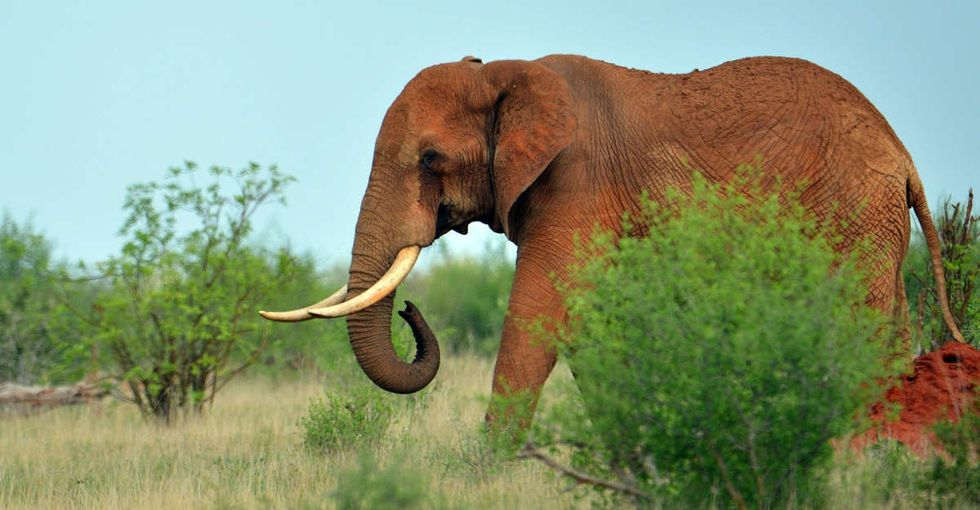 Conservationists in Africa came up with a genius way to save elephants: move them.