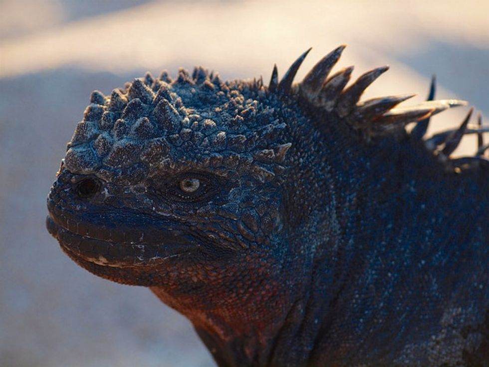 The marine iguana is a super-chill mini-Godzilla. You're gonna love it.