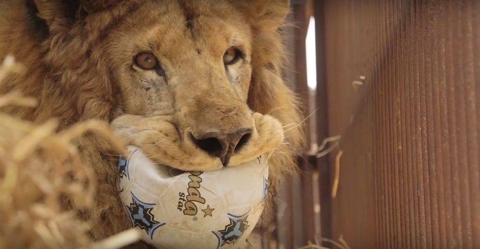 The biggest circus lion rescue of its kind just happened, and it was epic.