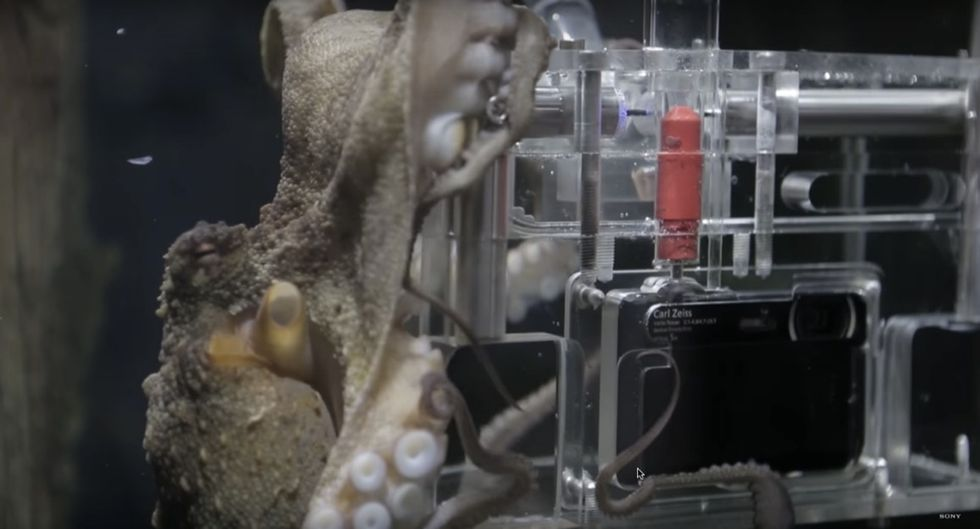 Scientists gave a camera to an octopus, and she only needed 3 tries to learn to use it.