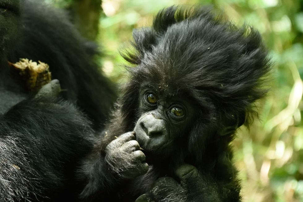 See photos of adorable baby gorillas named in a ceremony created to save their species.