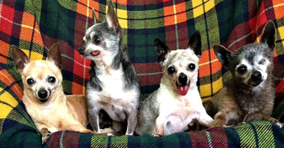 This gang of Chihuahuas is why older dogs deserve all the love in the world.