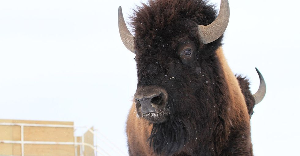 Photos: Wild bison return to Canadian home after more than 100 years.