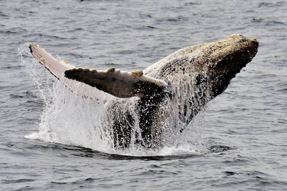 Scientists are weighing in on why a whale is living in NYC's Hudson River.