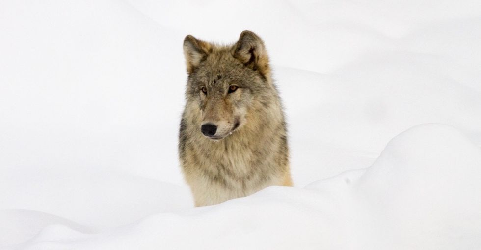 When wolves were reintroduced in Yellowstone, some unexpected species benefitted.
