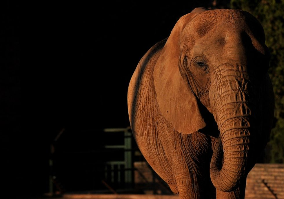 Nómade the elephant was born without tusks. Now her mutation is mainstream.