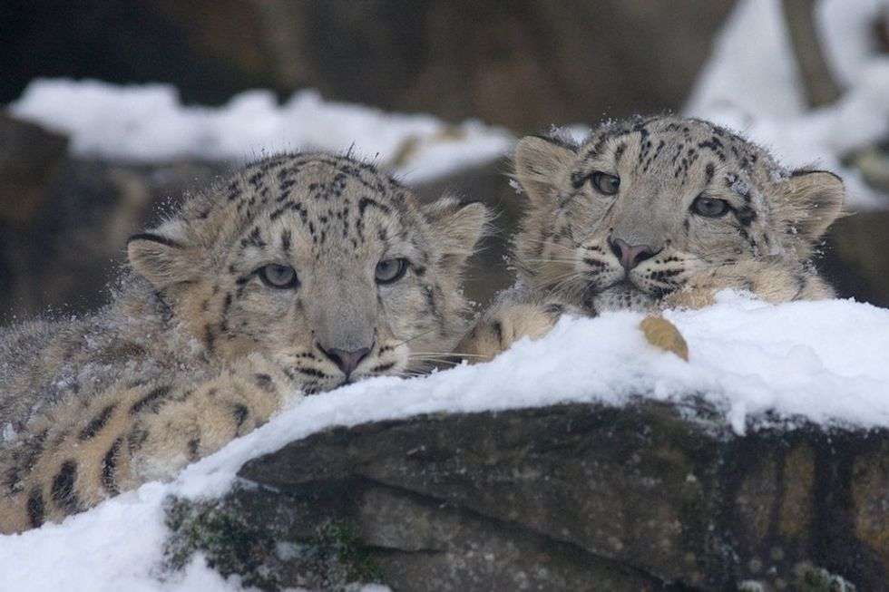 11 cold, hard facts that show why the snow leopard is unlike any other feline.