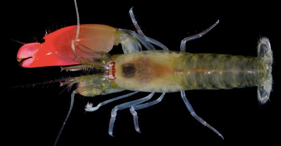 Scientists discover a new shrimp that kills with sound, name it after Pink Floyd.