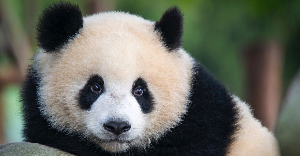 Why pandas are black and white and 24 other things you might not know about these animals.