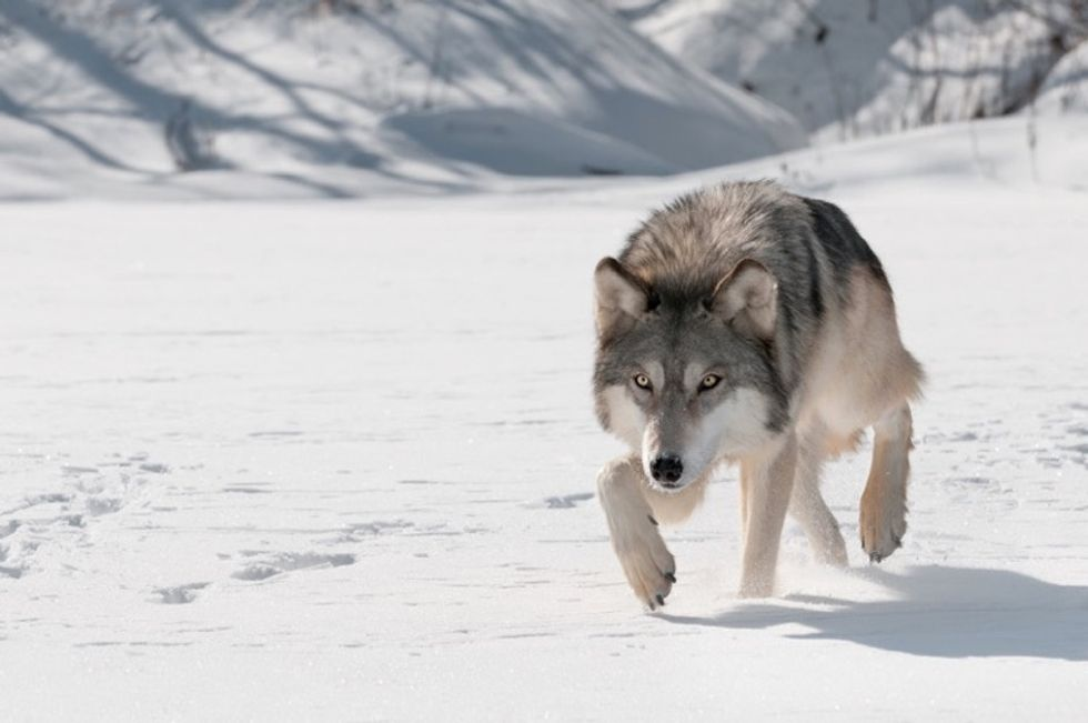 Why wolves mate for life and 22 other interesting things to know about these animals.