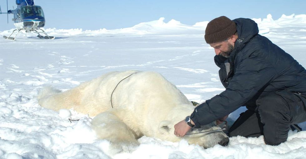 A scientist who has studied polar bears for 34 years is starting to get really worried.