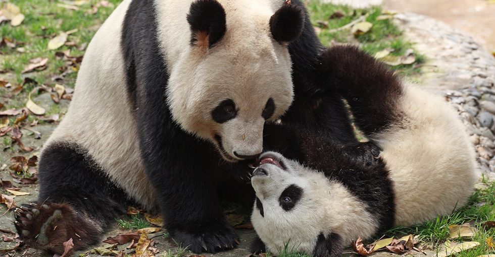 Behind the scenes of every cute baby panda, there's a mama bear.