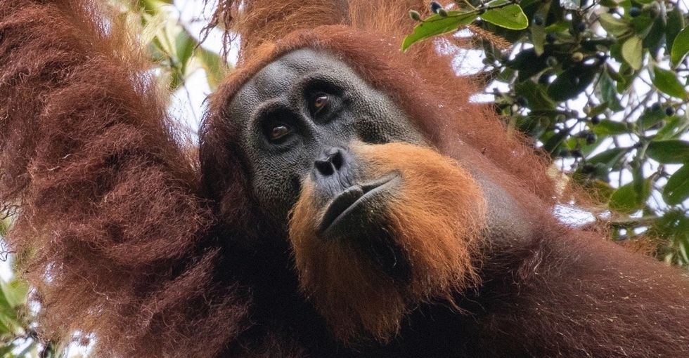 Orangutans are pretty much the best. And, guess what, there's a whole new species.