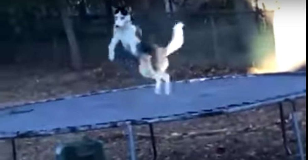 31 Days of Happiness Countdown: a dog owner secretly filming his husky jumping. (Day 21)