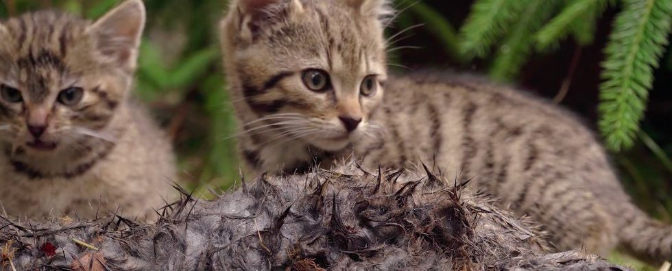 There's new hope for saving the world's rarest cat after 2 Scottish kittens were rescued.