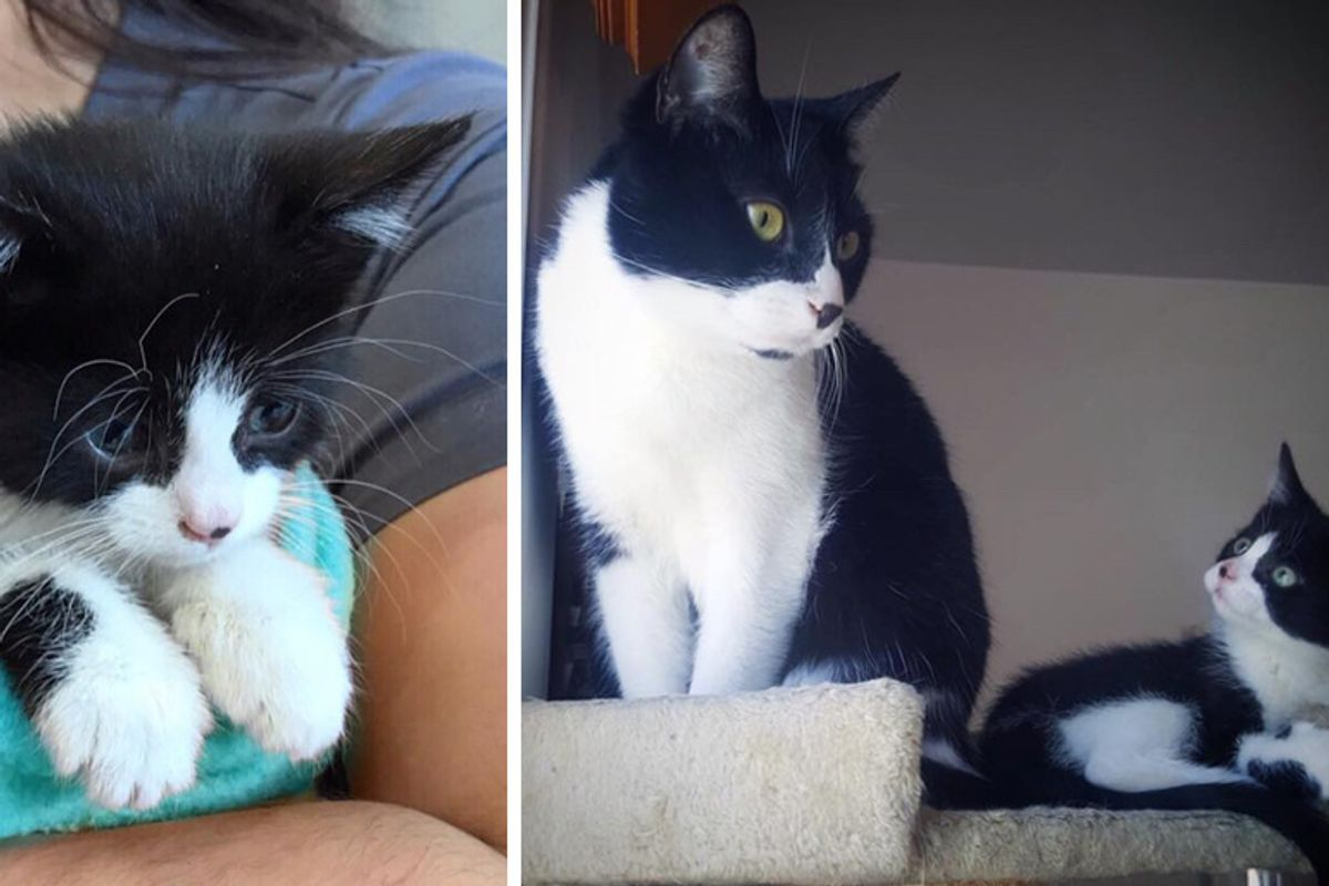 Kitten Who Was Rescued Alone, Finds Another Tuxedo Cat to Cuddle and Won't Let Go