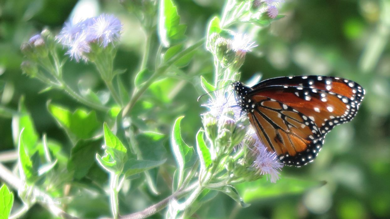National Butterfly Center: Trump's Border Wall Threatens Pollinators and Other Wildlife
