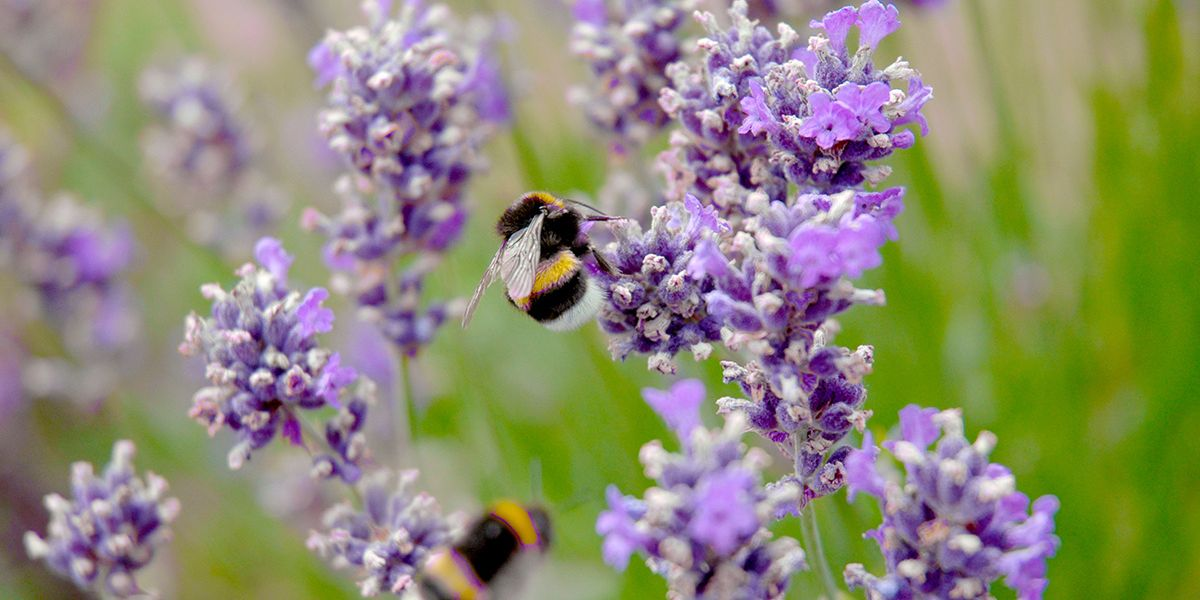Minnesota Will Pay Residents to Create Bee Friendly Lawns