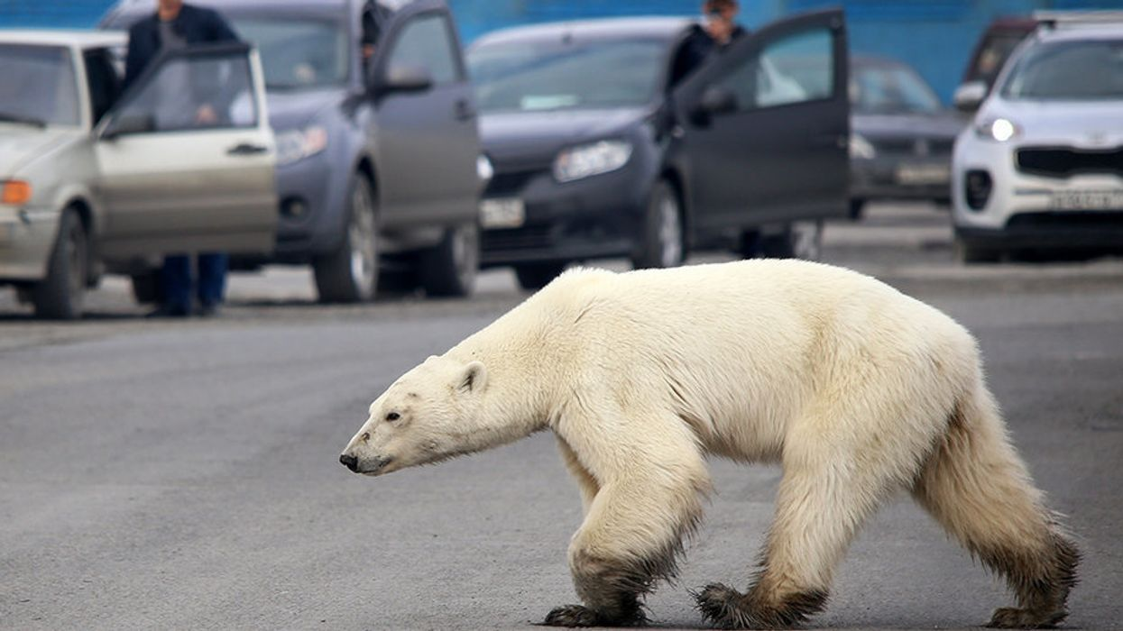 This Exhausted Polar Bear Wandering a Siberian Suburb Is the Latest Face of the Climate Crisis