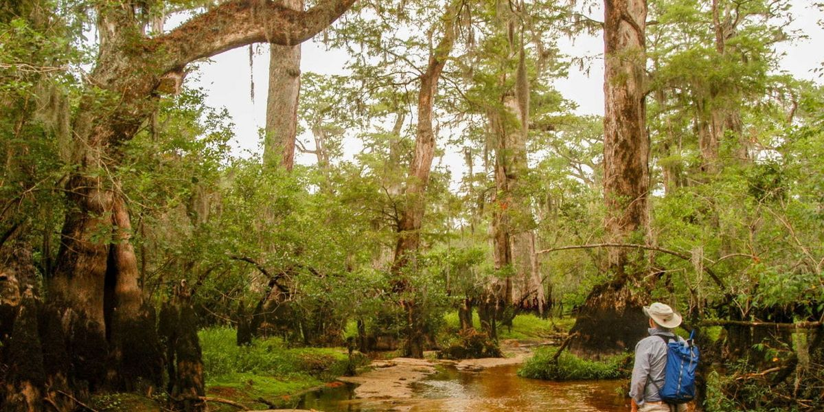 Ancient North Carolina trees that hold climate clues are under threat