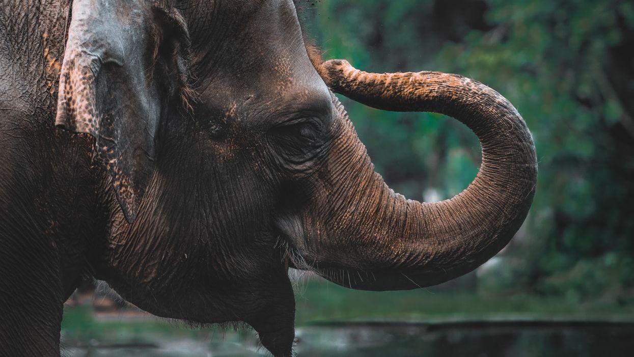 How Asian elephants judge quantities by smell