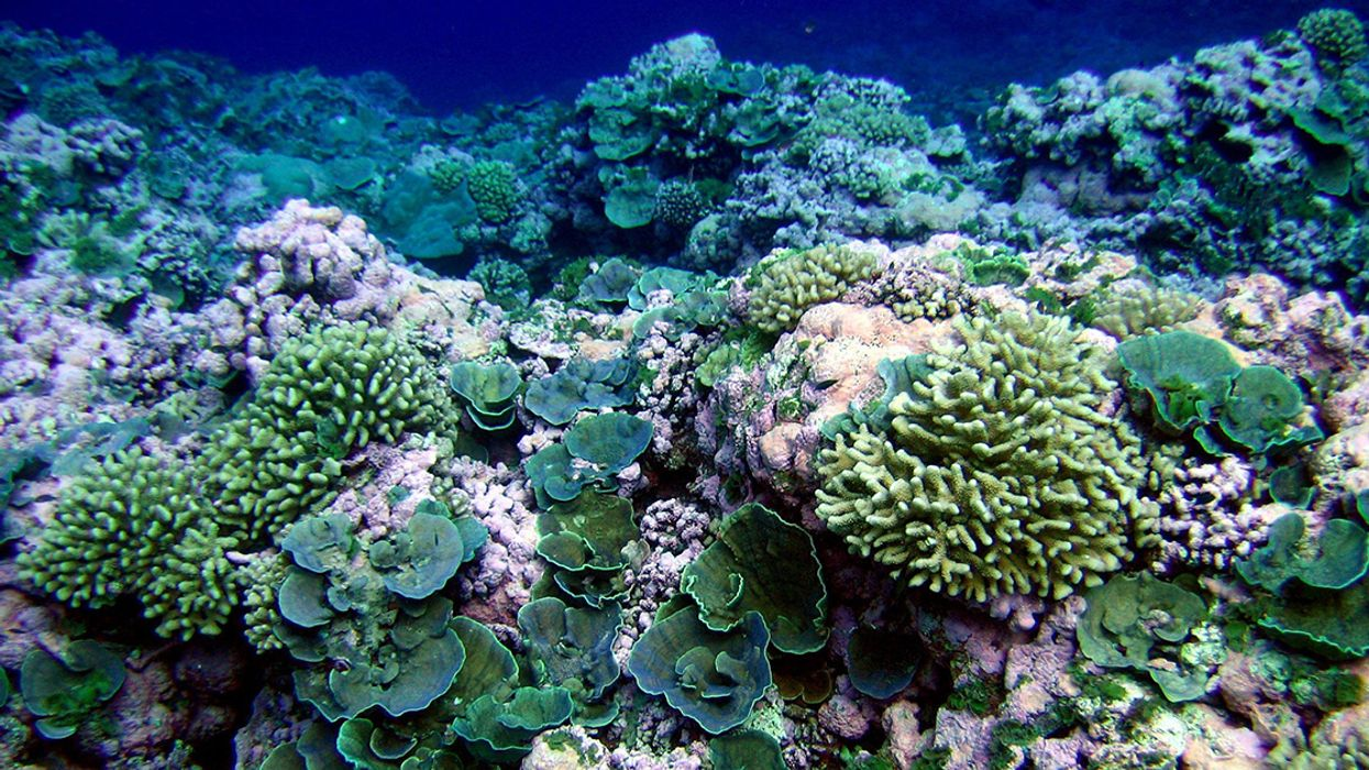 Biodiversity Helps Coral Reefs Thrive and Could Be Used Strategically to Save Them