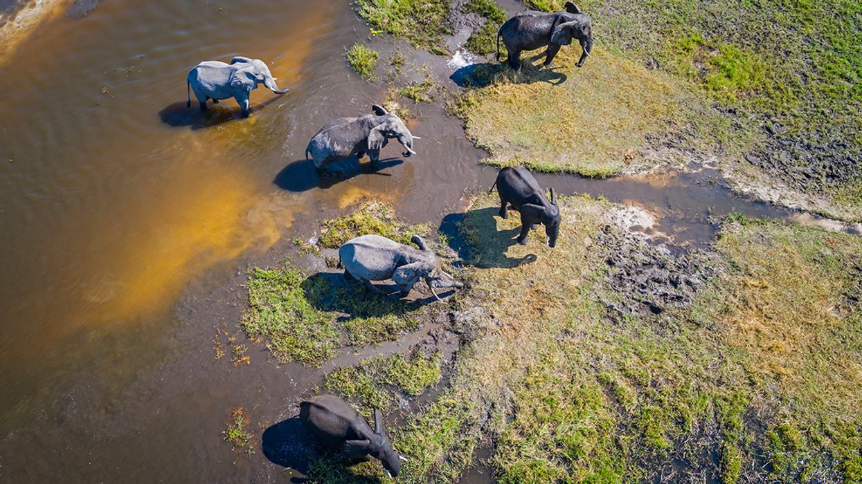 Elephant Poaching Is on the Rise in Botswana, Study Confirms