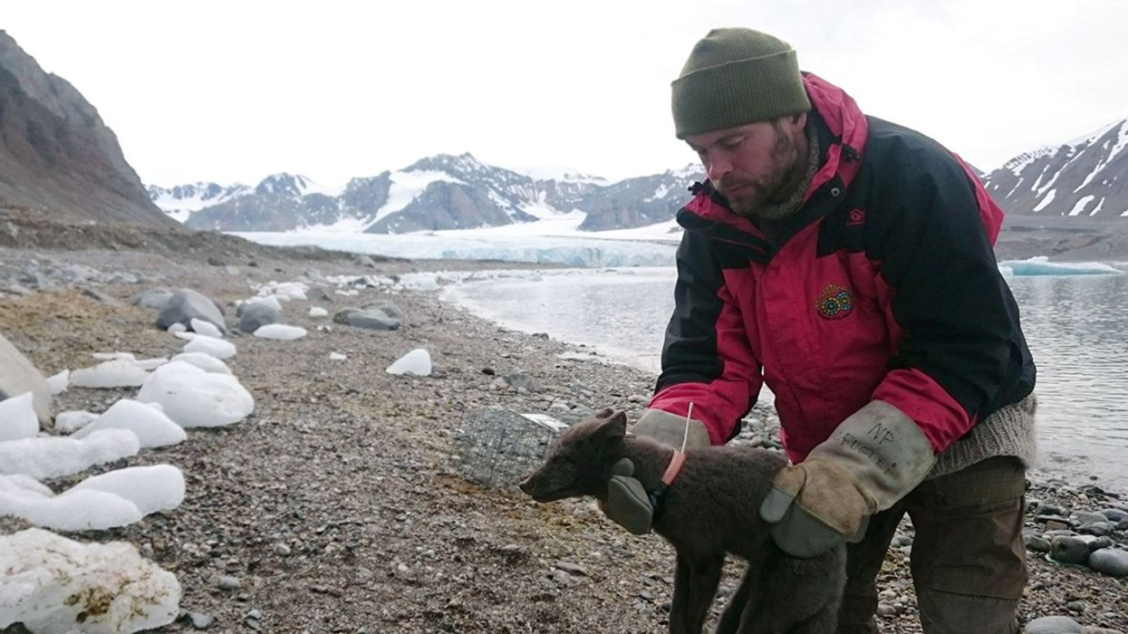 Arctic Fox's Record-Breaking Journey Might Not Have Been Possible Without Sea Ice