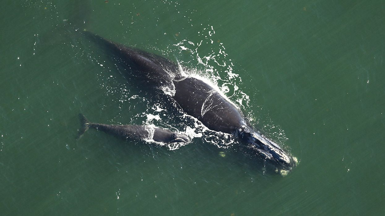 Sixth North Atlantic Right Whale Found Dead Prompts Concern From Researchers