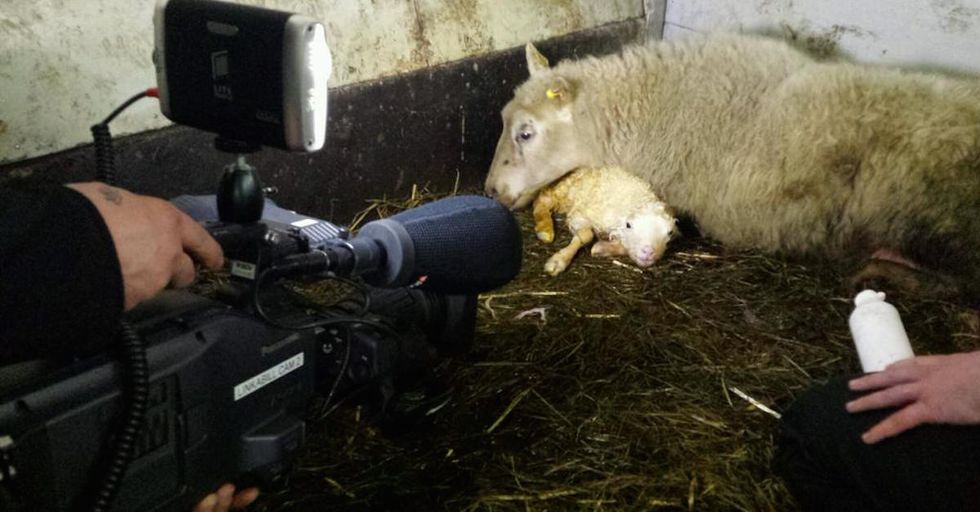 Embrace Your Inner Couch Baa'tato With a Televised Lamb-athon