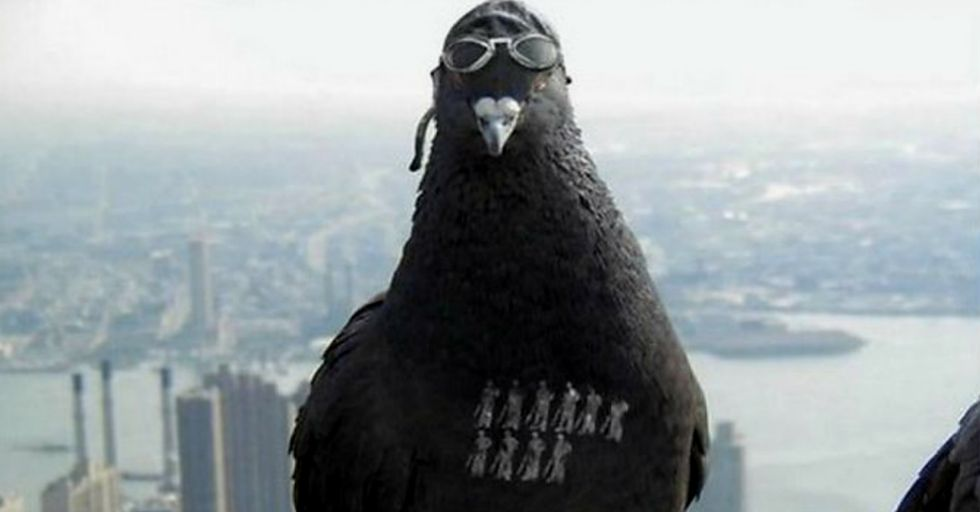 Internet Goes Wild After India Detains Pakistani Spy Pigeon