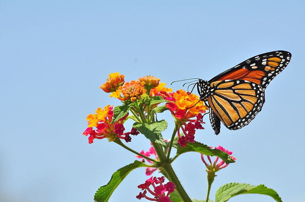 Can an Interstate Bug Highway Save the Monarch Butterflies?