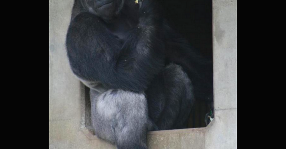 Meet The Handsome Gorilla That Women Are Flocking To The Zoo To Check Out