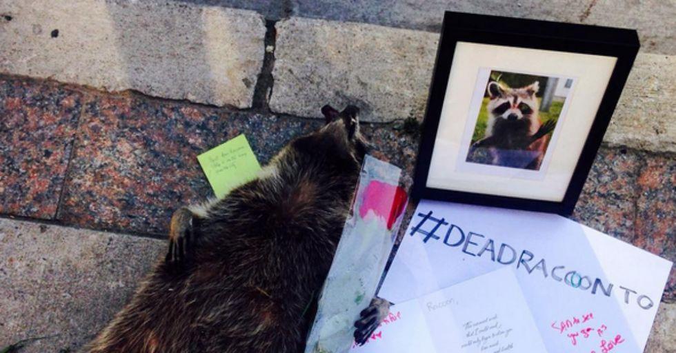 Meet Conrad, the World's Most Popular Dead Raccoon