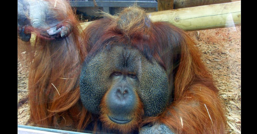Pregnant Woman Gets a Special Surprise From 47-Year-Old Orangutan at the Zoo