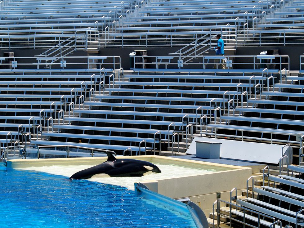 SeaWorld to End Current Orca Show in San Diego as New Legislation Seeks to Stop Killer Whale Captivity Entirely
