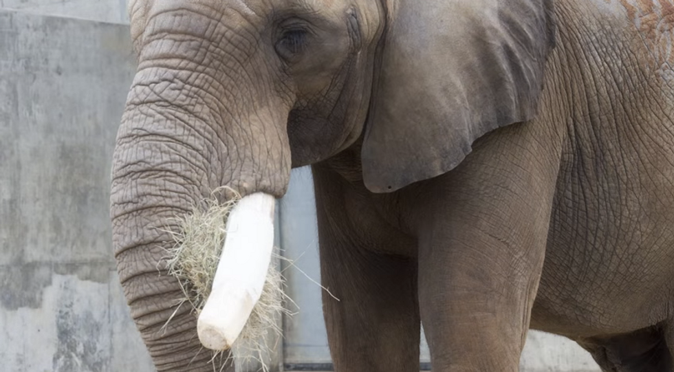 Researchers Used Cutting-Edge Aerospace Technology to Heal an Elephant's Damaged Tusk