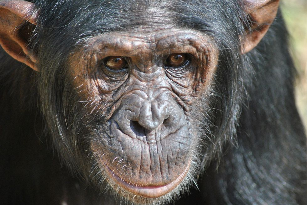 No More Monkey Business—The National Institutes of Health Ends All Chimpanzee Testing