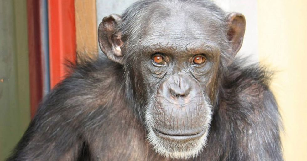 Abused Lab Chimp Finds Friendship in an Unlikely Place