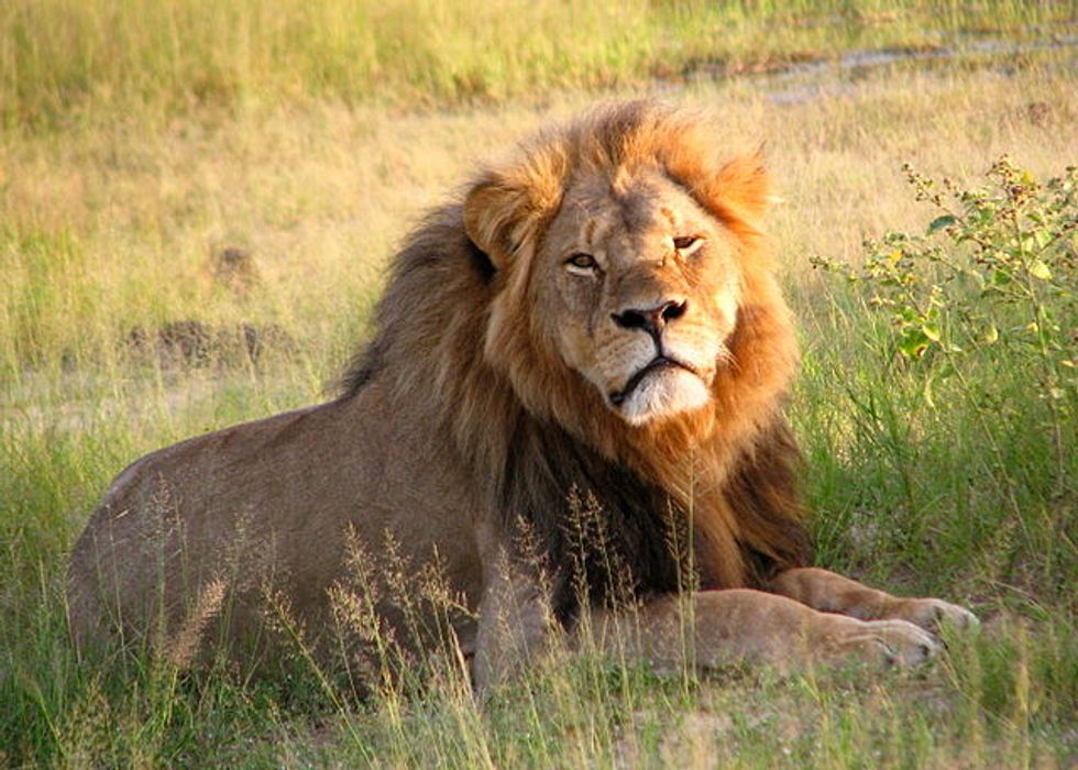 African Lions Are Now on the Endangered Species List
