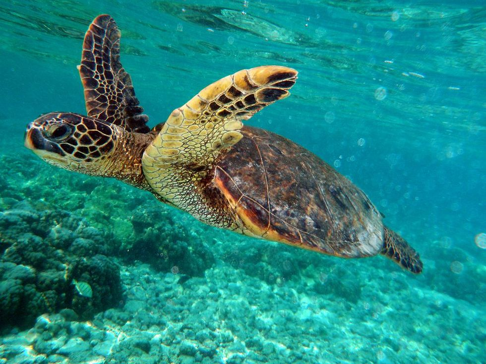 The Remarkable Comeback of the Green Sea Turtle