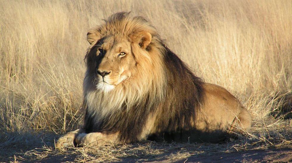 Safari Company Cancels Lion Hunt Raffle Under Activist Pressure