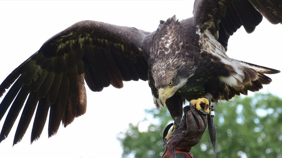 Dutch Police Enlist Drone-Hunting Eagles to Patrol the Skies