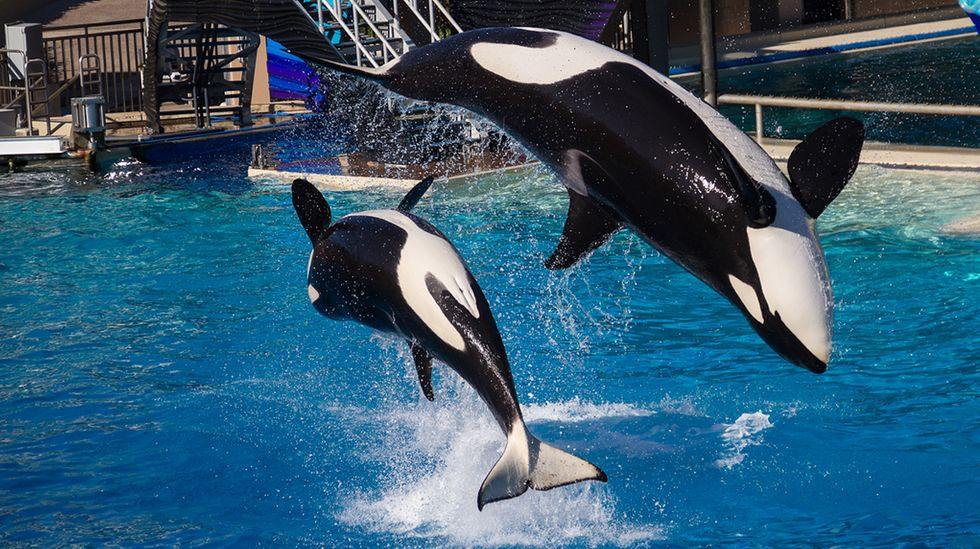 SeaWorld Announces End to Its Breeding of Captive Orcas