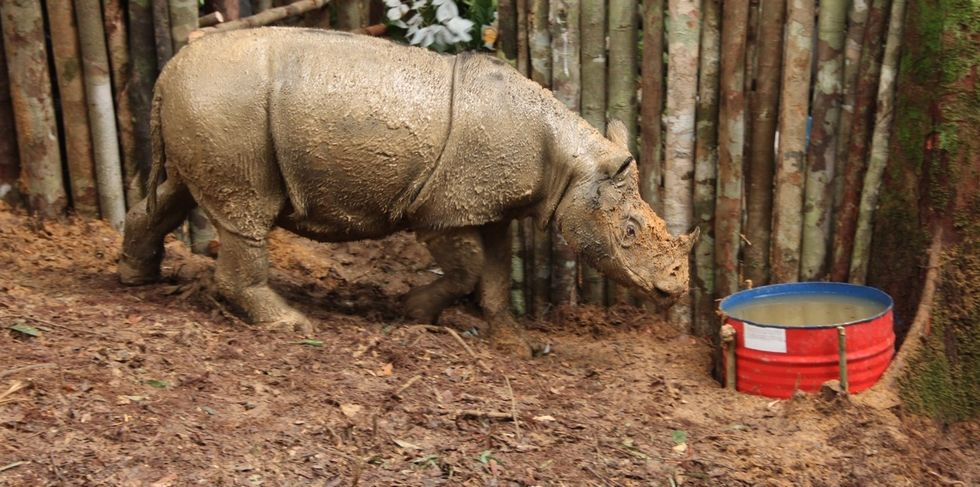 Conservationists Make Contact With Rare Sumatran Rhino