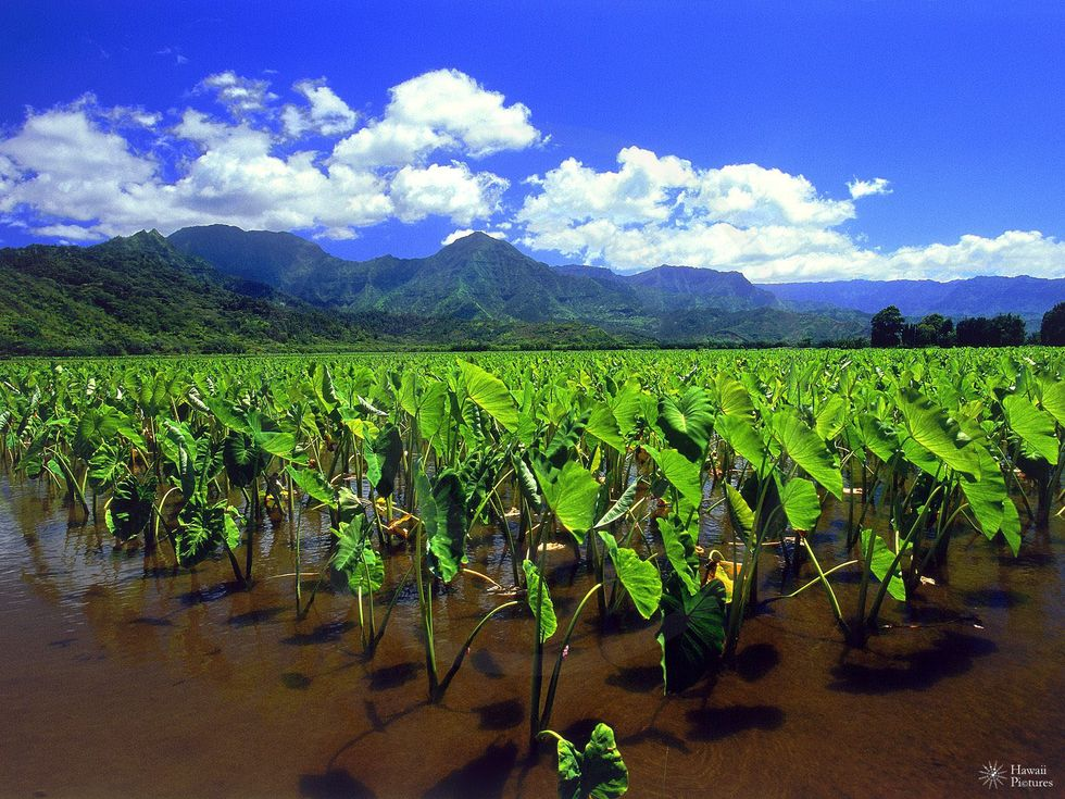 The Fall of the Sugar Goliath in Hawaii Makes Way for the Return of Kalo